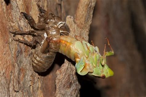 Cicada Shedding Its Exoskeleton by What Is An Exoskeleton Definition Advantages