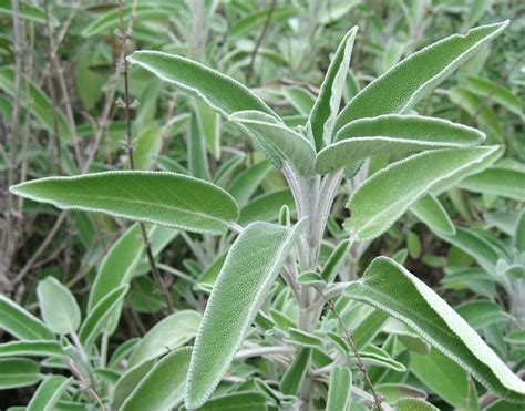 Growing Hermione's Garden Salvia Officinalis Sage
