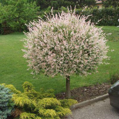 saule crevette hakuro nishiki salix integra hakuro nishiki arbres et arbustes d ornement