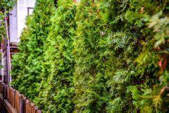Sträucher Eignen Sich Als Sichtschutz by Schnellwachsende Str 228 Ucher Und Hecken Als Sichtschutz