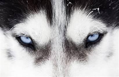 Husky Siberian Eyes Close Dog Wallpapers Background