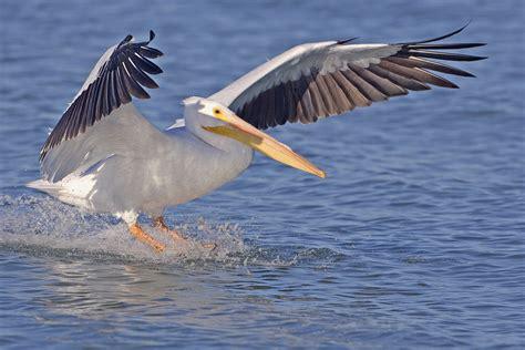 le de poche pelican file white pelican natures pics jpg wikimedia commons
