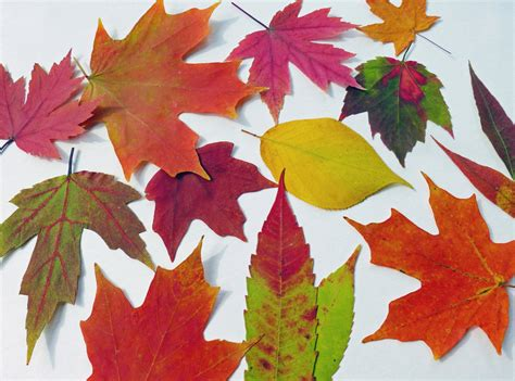 fall leaves decor autumn leaves qty 50 fall leaves table decorations autumn wedding decor real leaves on luulla