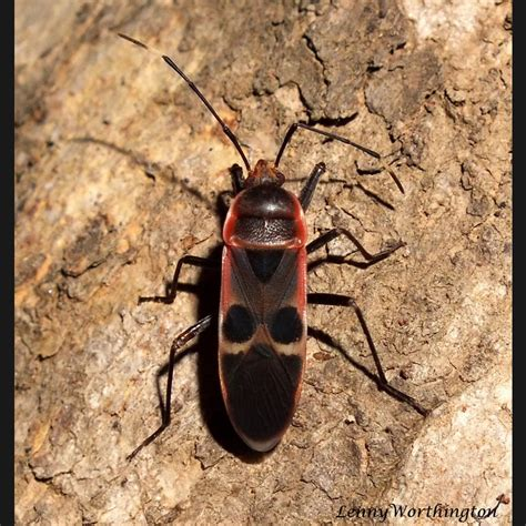 Physopelta gutta species page - THAILAND NATURE PROJECT