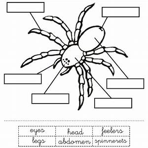 Parts Of A Spider For Kids -