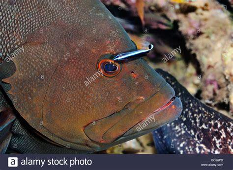 grouper wrasse fish cleaner rogaa sea alamy