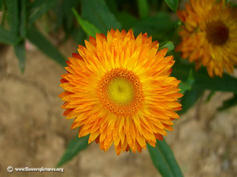 www picture of flower strawflower picture 1