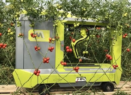 tomato harvest robot grow  tested   greenhouse