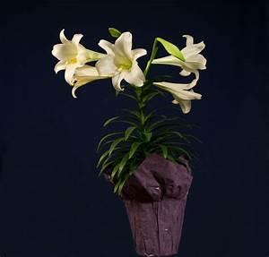 Lilie Topfpflanze Kaufen : die lilie als zimmerpflanze so gedeiht sie am besten ~ Lizthompson.info Haus und Dekorationen