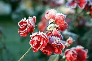 Rosen Winterfest Machen : rose im winter ~ Orissabook.com Haus und Dekorationen