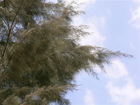 australian pine common  australian pine horsetail  flickr