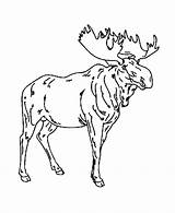 Moose Coloring Pages Wild Drawing Animals Colouring Animal Male Sheet Azcoloring Source Popular Site Honkingdonkey Coloringhome sketch template