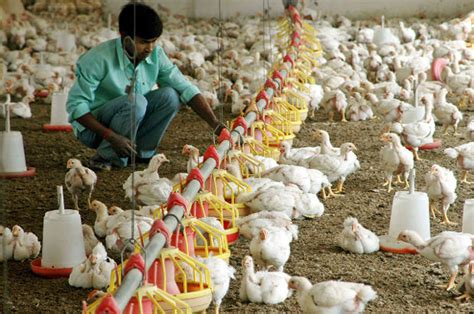 chickens  india   fed antibiotics  heres
