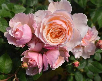 moonlight paris rosa floribunda moonlight paris