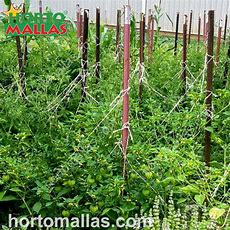 Hortomallas Trellis For Tomatoes As A Way To Support Your