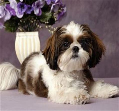 Lhasa Apso Puppy Shedding by The Shih Tzu The Little Lion That Doesn T Roar