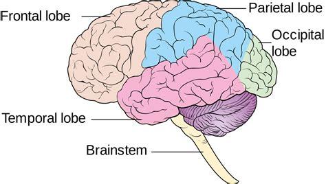 brain diagram cliparts co