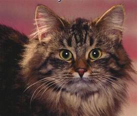 cat aids supplements for cats with feline aids fiv chagrin