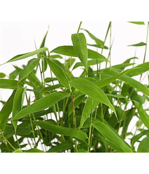 Bambus Als Zimmerpflanze Lucky Bamboo Als Zimmerpflanze Pflegen