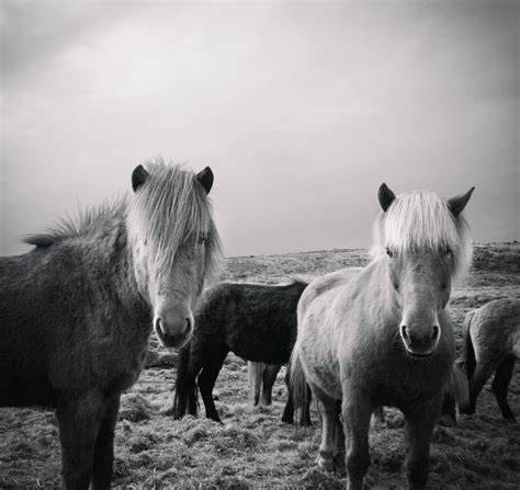 Icelandic ponies roaming the countryside | Smithsonian ...