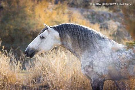 horses andalusian draft horse visit