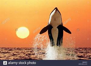 Orca, Killer Whale (Orcinus orca) jumping at sunset Stock ...