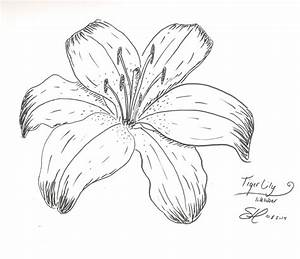 Lily Flower Drawing Outline Tiger Lily Drawing - Coloring ...