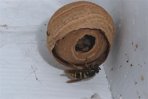 Inspect for wasp nests
