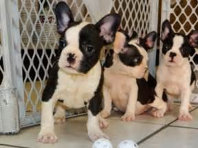 Frenchton, Puppies, Dogs, For Sale, In Jackson ...