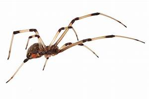 File:Brown widow spider Latrodectus geometricus low ...
