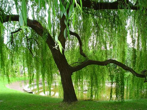 weeping willow tree weeping willow romantic trees pinterest