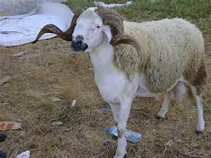 pin by toufik on sardi sheep pinterest goats and animal With katzennetz balkon mit elizabeth garden creme