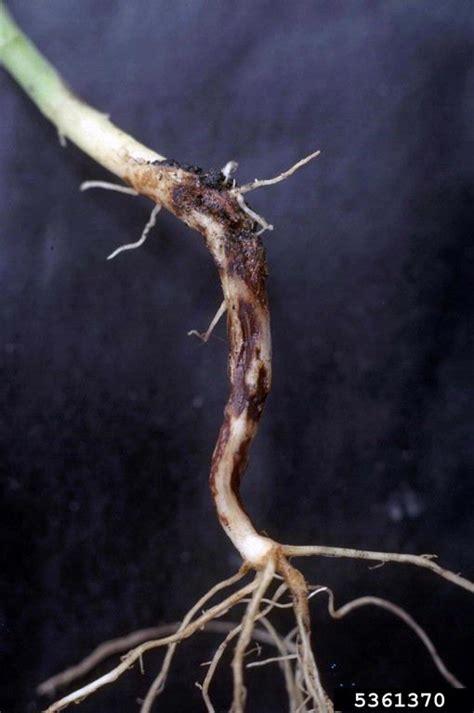 rhizoctonia damping  blight  rot rhizoctonia