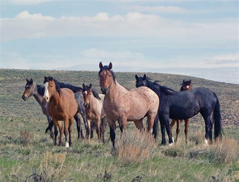 wild horse horses herd plain wash sand animals action area volunteers basin barbed wire volunteer club remove energy planning clean