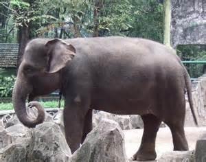 Picture 2 of 3 - Sumatran Elephant (Elephas Maximus ...