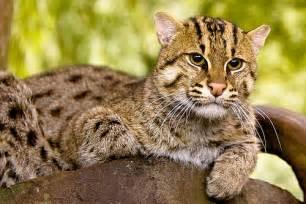 fishing cat fishing cat flickr photo