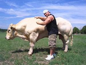 muscular cows | What is Genetic