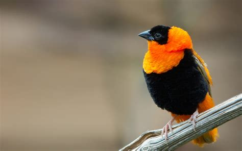 Black and Orange Oriole - Wallpaper #41484