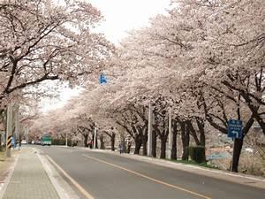 2014 Cherry Blossom Festival in Korea