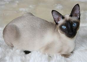 tonkinese cats tonkinese cat animals wiki pictures stories