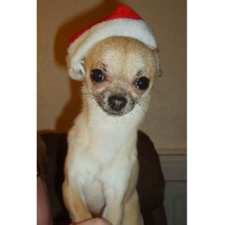 Brownhills Chihuahua Mad Chihuahua Stud In Walsall West Midlands