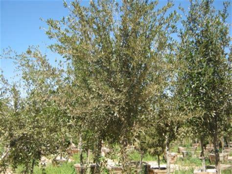 olive wilsonii olive wilsonii whitfill nursery shade trees