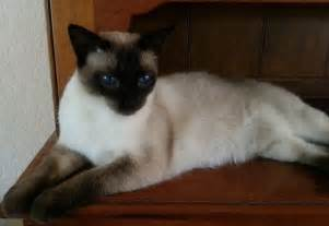 siamese cats for traditional siamese cats kittens diane recommendations