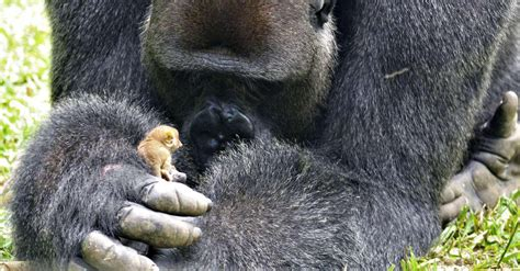 gentle gorilla discovers tiny friend   forest