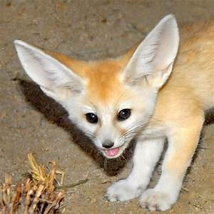 Fennec Fox Pup at the Los Angeles, California Zoo, photo ...
