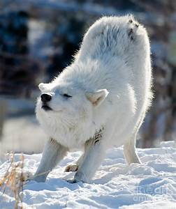 Arctic Wolf Stretching Photograph by Les Palenik