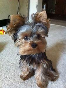 78 best Silky Terriers images on Pinterest   Yorkie, Silky ...