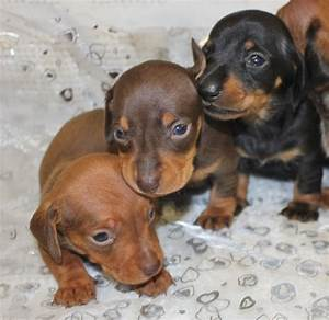 KC Smooth Haired Miniature Dachshund Puppies | Orpington ...