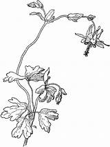 Columbine Coloring Pages Flower Flowers Designlooter Recommended Drawings Printable sketch template