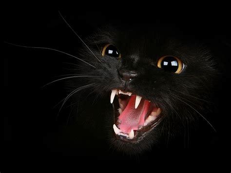 Fierce Animal Wallpapers - free fierce cat wallpaper the free fierce cat